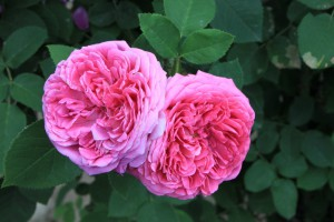 Pix_Damask_Rose