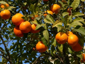 oranges-at-tree-1325437