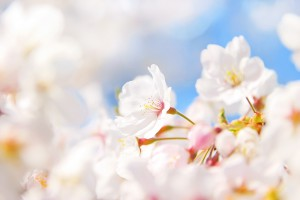 xcherry-blossom_00004.jpg.pagespeed.ic.pgmHKRAE7f