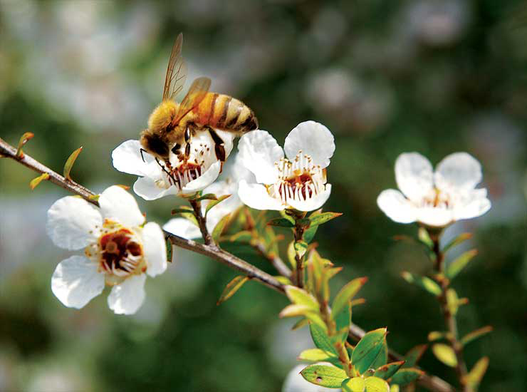 Bee and Manuka flower 1_mag